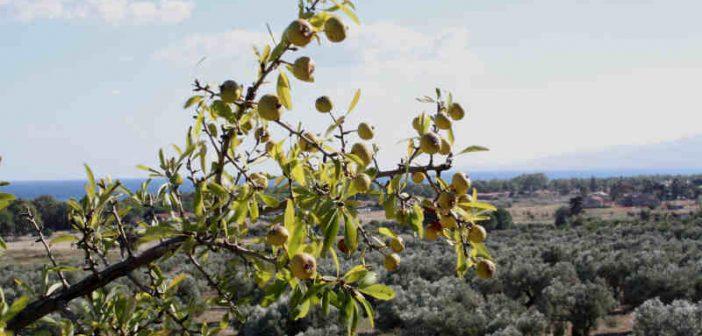 Ulivo Parco Scolacium Roccelletta Borgia Calabria Contatto