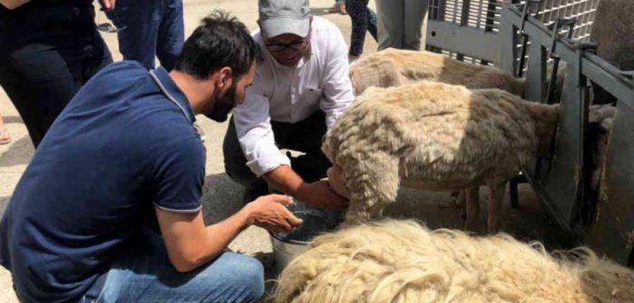 Tiriolo Pecore Restanza Itaca Calabria Contatto